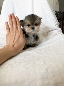 Available Puppy - iHeartTeacups Small Cute Puppies, Morkie Puppies For Sale, Teacup Poodle Puppies, Teacup Yorkie For Sale, Westie Puppies, Yorkshire Terrier Puppies, Cute Cats And Dogs, Teacup Pomeranian, Pomeranian Dogs