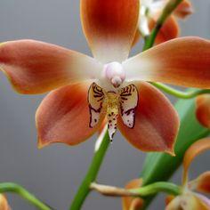 Neomoorea irrorata