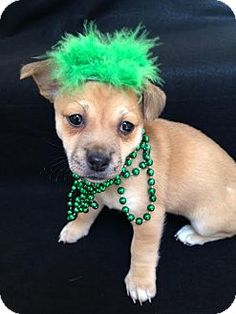 Baltimore, MD - Pug/Parson Russell Terrier Mix. Meet Molly, a puppy for adoption. http://www.adoptapet.com/pet/12550031-baltimore-maryland-pug-mix