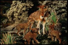 Picture of Ethiopian wolf