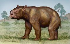 HERE we go my favorite marsupial and one of my top 20 favorite animals ever the largest marsupial to walk planet earth diprotodon. Diprotodon lived in australia during the ice age. I'm going to tell you how australia was dominated with marsupials. during the cretaceous 65 million years ago marsupials went from north america suth america antarctica then finally to australia. After dinosaurs went extinct and australia became independent from the world, and marsupials dominated.