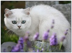 British shorthair cat, seal silver shell point I can't believe the beauty on this site....Judith, The Lioness