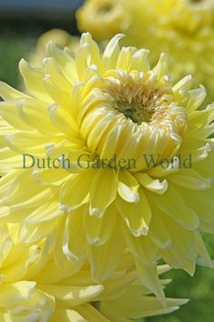 Dahlia Bilbao Dutch Top Quality Flower Bulbs - Dutch Garden World