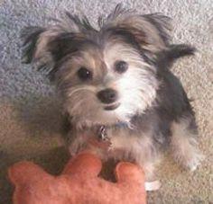 Cute floppy eared Morkie