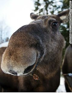 Sweden: moose capital of the world. Bergslagen forest, a two-hour drive from Stockholm.
