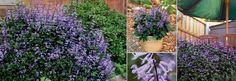 plectranthus Mona Lavender. Shade lover. 80cm tall.