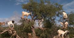 Why are there goats in the trees? - Videos - CBS News