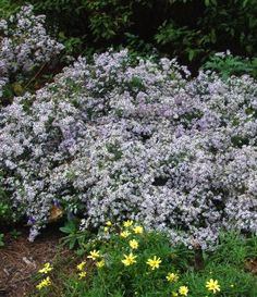 Aster cordifolius Blue wood aster from North Creek Nurseries available as plugs