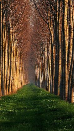 Line Up Trees. Tap to see more Nature Landscape iPhone Wallpapers! - @mobile9