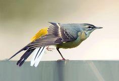 Birds 2, Love Birds, Beautiful Birds, Grey Wagtail, Animals, Fish, Little Birds, Animales, Animaux