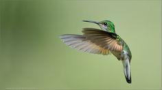 Striped-tailed Hummingbird - (Eupherusa eximia) Female