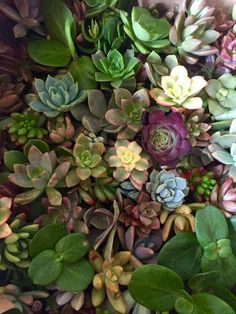 50 Succulents for your DIY wreath projects Succulent Favors, Succulent Cuttings, Succulent Wreath, Succulent Planters, Succulent Seeds, Blooming Succulents, Succulents Garden, Baby Shower Tea, Bridal Shower Favors