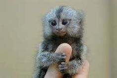 finger monkey pictures - Bing images