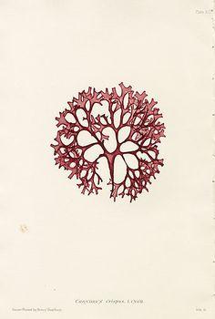 antique seaweed print