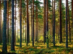 Finnish pine - a natural choice - Honka Story Inspiration, Painting Inspiration, Rustic Stone, Pine Forest, Deep Forest, Natural Homes, Amazing Nature, Ecology, Landscape Architecture