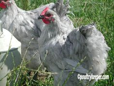 """You've been waiting for Lavender Orpingtons, and they're finally here! The lavender or """"self blue"""" color is rare and highly prized in the world of chickens, and we've selected our breeder flock for pure beauty. They are a large, loosely-feathered bird with an upright stance and a medium-sized single comb. Orpingtons are adored for their good nature and willingness to be handled"""