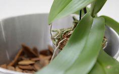 Deixar a planta em um local bem drenado é fundamental. Coloque pedras ou cacos de cerâmica em 1/3 do vaso . Foto: Bruno Zanardo/Fotoarena