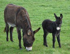 Little black donkey (and friends). Courtesy: horslips5, Portstewart.