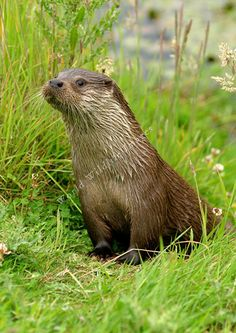 british otters - Google Search