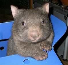 What's cuter than a wombat? A wombat in a box! Baby Wombat, Cute Wombat, Baby Sloth, Wombat Pictures, Cute Pictures, Random Pictures, Animal Pictures, Baby Animals, Funny Animals