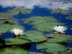 Water lilies by Stehouwer and Recio on 500px