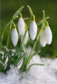 Photo about Galanthus nivalis-crocus-white snowdrops. Image of crocus, macro, fresh - 8585824