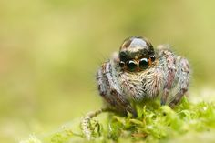 Jumping Spider With Dewdrop on Head