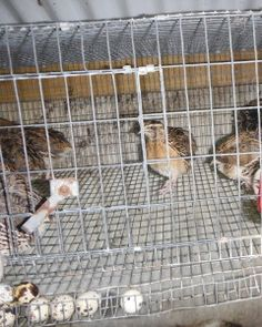 Quail Cage with egg collection modifications