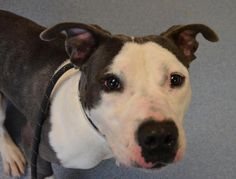Roger - located at ISLIP ANIMAL SHELTER AND ADOPT-A-PET CENTER in Bay Shore, NY - Young Male Pit Bull Terrier - Roger is a handsome boy who is under a year old and would love a real home to grow up in. He is a happy and playful boy who still has his puppy energy. He'd love a family to play with and teach him his commands.He gets along with dogs and cats.