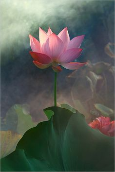 ✿ Pink flower Lotus ✿ Green leave Lotus Flower by Bahman Farzad #flowers #Lotus #pink
