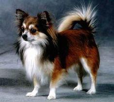long hair tri color chi #chihuahua