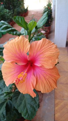 hibiscus flower benefits in telugu Hawaiian Flowers, Hibiscus Flowers, Exotic Flowers, Tropical Flowers, Summer Flowers, Beautiful Flowers, Beach Flowers, Flower Cake Decorations, Pune
