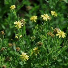 Osteospermum muricatum Green And Grey, Shrubs, Perennials, Wild Flowers, Plants, Planters, Perennial, Plant, Wildflowers