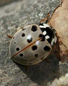 Fifteen-Spot Ladybird beetle - Anatis labiculata / http://bugguide.net/node/view/62386/bgpage