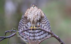 A sparrowhawk on the hunt for prey struck a classic Batman pose as it perched on a branch with its wings spread into a makeshift 'cape'. Retired murder detective Ray Cooper, 65, spent 13 hours across two days in a rented bird hide in a clearing to capture the dramatic shotin Kirkcudbright, Dumfries and Galloway, Scotland.