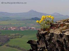 Aurinia saxalitis on basalt rock hill Kostalov in the České středohoří -  volcanic landscape in northern Bohemia Grand Canyon, Rock, Nature, Travel, Bohemia, Naturaleza, Viajes, Skirt, Locks