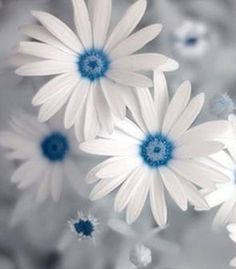 ✯ Blue Daisy---pretty...in a cool sort of way