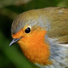 Polished bird! So squeaky clean & perfect in every way! #Louie #Robin you are so #handsome #birdsofinstagram #birdlovers #europeanrobin #gardenbirds #britishbirds #birdsofafeather #birdshots #birdsplanet #birds_perfection #featherperfection #picoftheday #photooftheday #birdpic #birdpictures #rspb_love_nature #rspb #canon #canonphotography #naturepic #natureisbeautiful #naturephotos #ilovethisguy #hesmybestfriend x