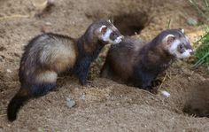 O Furão é um mamífero carnívoro da família dos Mustelídeos utilizado como animal de estimação em vários países do mundo.