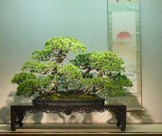Japanese white pine at Omiya Bonsai Museum