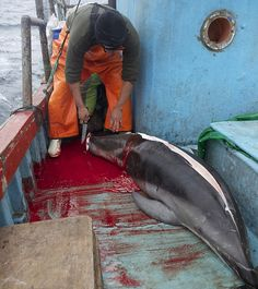 Massacre of the dolphins: How 10,000 of the mammals a year are being speared and slaughtered - just for bait to catch endangered sharks. http://www.dailymail.co.uk/news/article-2465575/Dolphins-killed-bait-catch-endangered-sharks-Peru.html #SeaShepherd #defendconserveprotect
