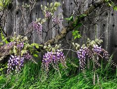 "206 Likes, 12 Comments - Jennifer Jewell (@cultivating_place) on Instagram: ""Cloudy day, vivid wisteria, weathered farm fence. ""Natural contrasts make one another that much…"""