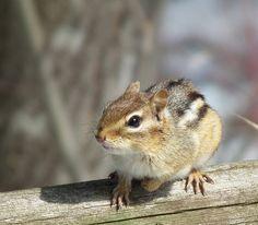 Chipmunk  and Bird Feeder - Anne's Nemesis by Tom_Gray_GRC, via Flickr