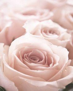 pink roses. ZsaZsa Bellagio