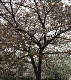 Still Sakura in Tokyo : well some areas