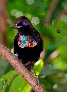 Bird of Paradise- JUST LOOK AT THESE BEAUTIFUL FEATHERS !!! THE FEATHERS LOOK LIKE SEQUINS - AWESOME !!: