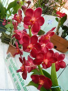 vanda flora macdonald x | Ascocenda Sweet Pea 'Ruby'. Expositor: Sócio daAssociação ...
