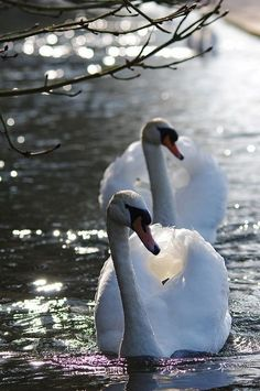 Two Mute Swans swimming forward Swan Love, Beautiful Swan, Beautiful Birds, Animals Beautiful, Cute Animals, Mute Swan, All Birds, Mundo Animal, Bird Feathers