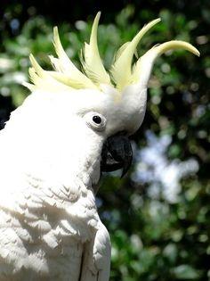Photo by danikatz Cockatoo, Bird Species, Wild Birds, Gold Coast, Bird Feathers, Beautiful Birds, Wildlife, Queensland Australia, Live