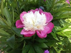Ilha de Mainau, Alemanha,linda flor.